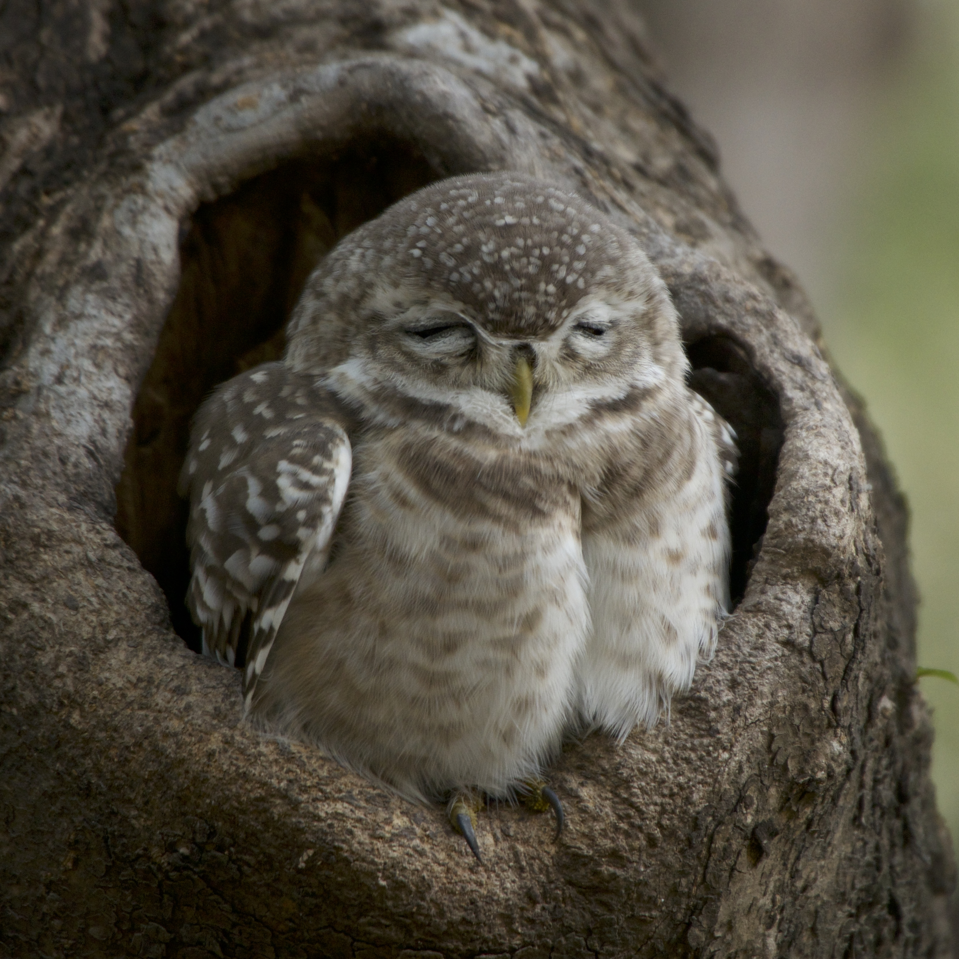 Baby Spotted Owlet Close Up Nick Dale Private Tutor