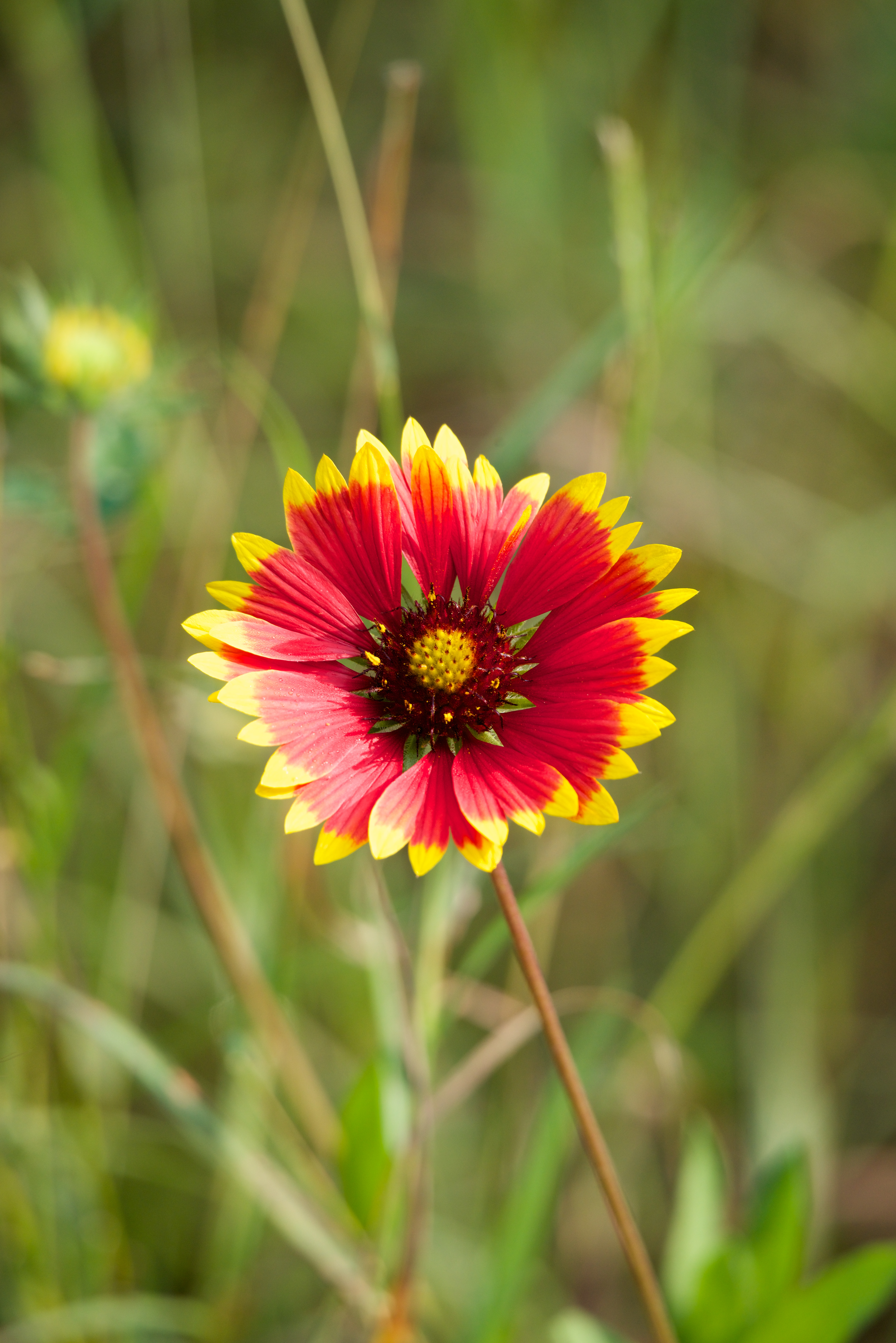 Red Flower With Yellow Tips To Petals Nick Dale